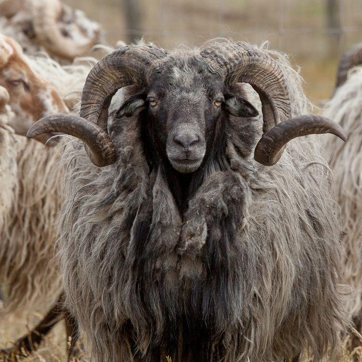 Drents Heideschaap. Het Drents Heide schaap is het oudste ras in west Europa. Het is al 6000 jaar in Nederland en het enige van oorsprong Nederlandse ras dat gehorend is. Van oudsher was het een ras dat de arme heide gronden moest begrazen en zo ook bemesten. Het is een