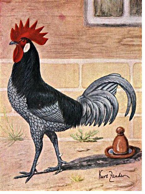 Lamina de kurt zander 1880, gallo andaluz.