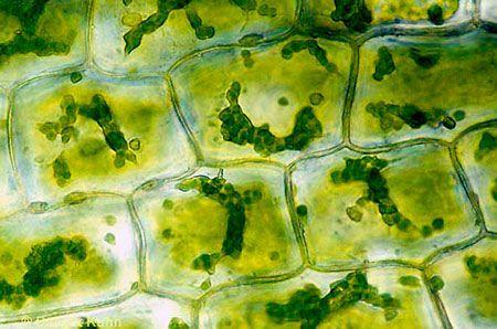 Células vegetales vistas al microscopio