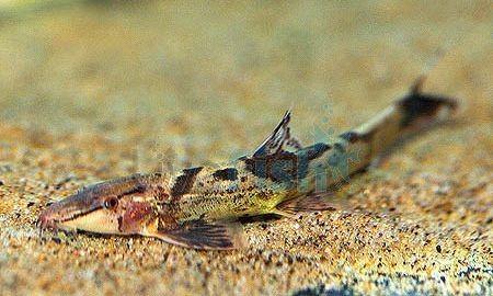 17 best images about aquarium final cut on pinterest for Water lizard fish