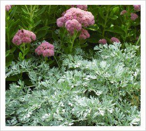 Artemisia absinthum 'Lambrook Silver' | Lambley Nursery - dwarf to 60cm
