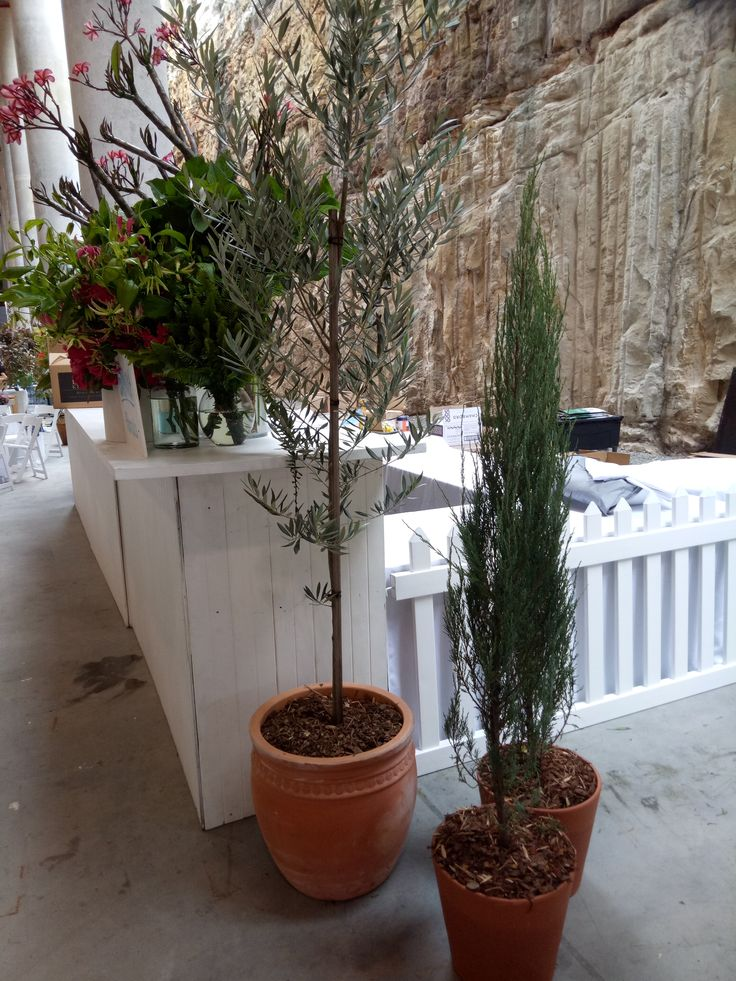 Tuscan pot plants - olive tree, spartan junipers