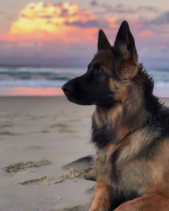 The Most Beautiful Sunset For A Beautiful Girl Zaz Gsd Germanshepherds Germanshepherd German Shepard Puppies German Shepherd Dogs German Shepherd Puppies