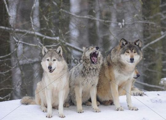 canadian wolves | Mackenzie Wolf, Canadian wolf, Timber wolf (Canis lupus occidentalis ...