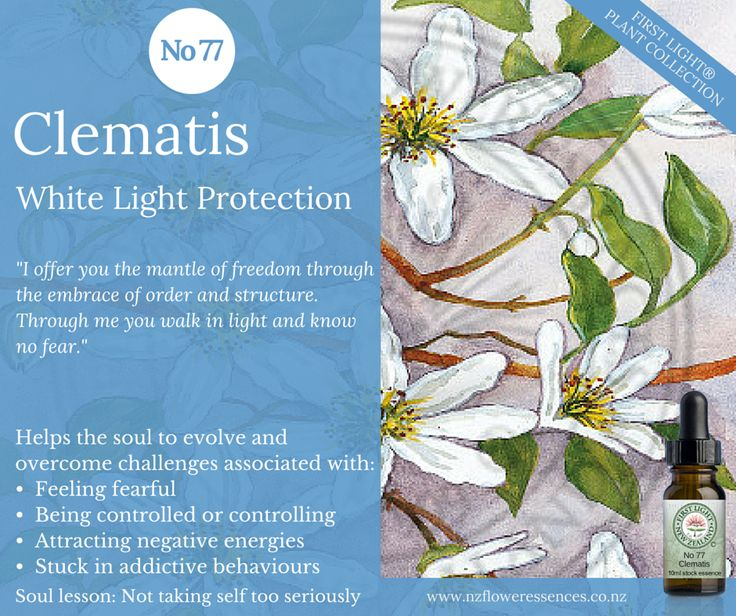 Clematis - White Light Protection - great for clearing space from negative energy and for cleansing and purifying both internally and externally. Use when confronted by own shortcomings, attachments, weaknesses and fears in order to be able to see them for what they are. Beneficial for those who are caught in a career, relationship or lifestyle that is life-controlling or damaging to own wellbeing. Helpful for those who suffer from addictions: nicotine, alcohol, drugs.