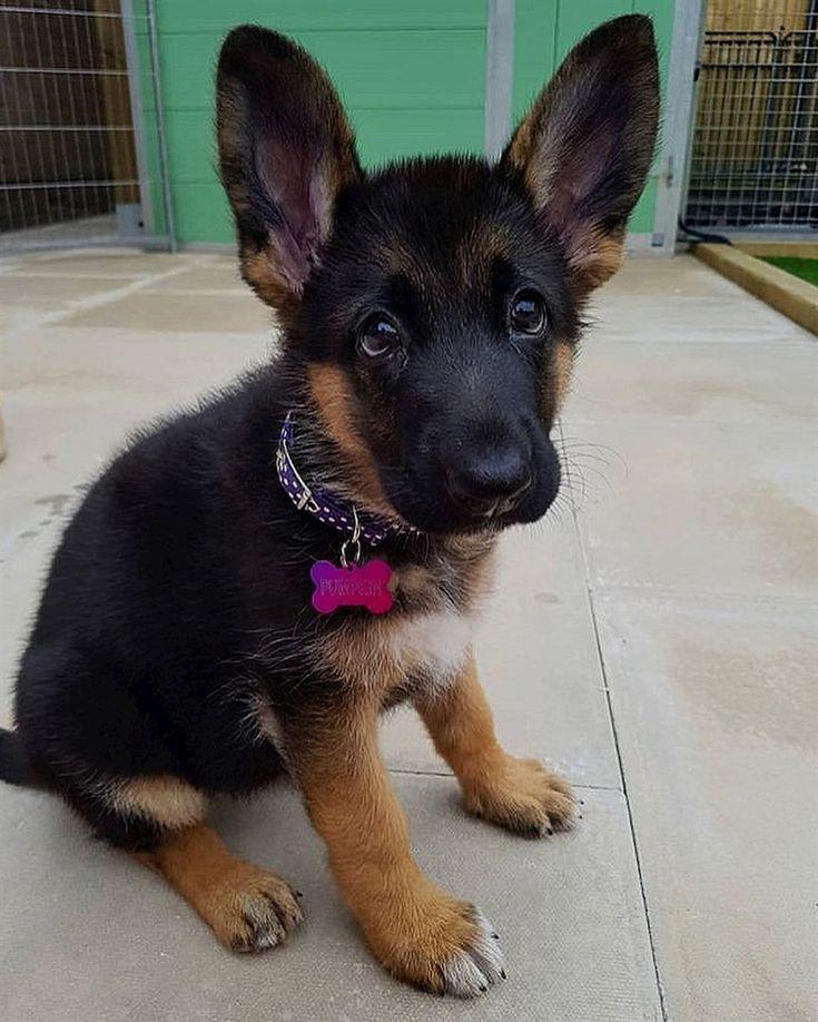 Omgggg so cuteeee Cute german shepherd puppies, German