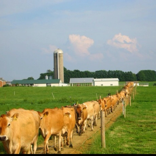 : Farm Animals, Animal Trains, Jersey Cow, Creatures, Children, Cows Cows Jerseys, Cows Dairy