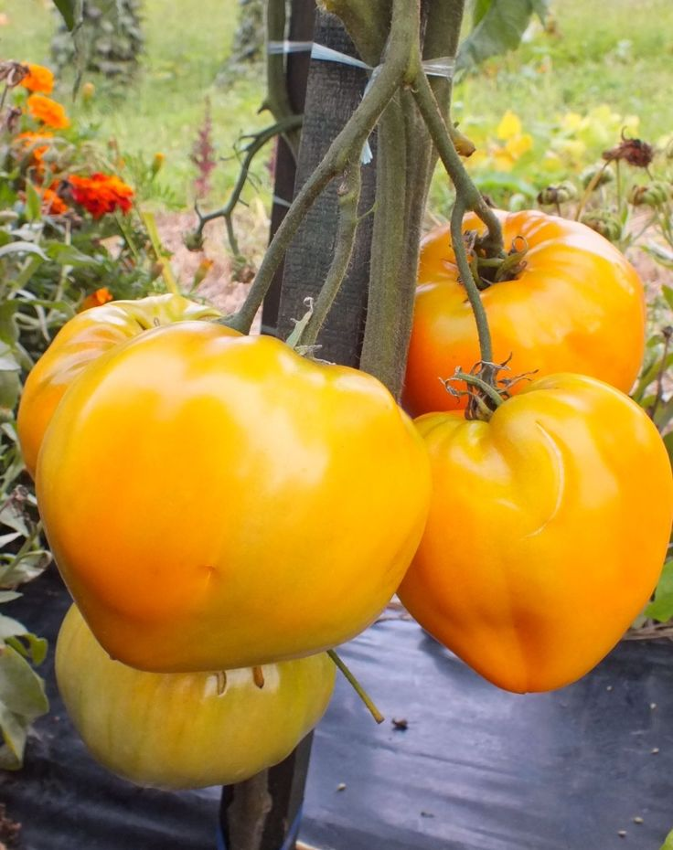 German Orange Strawberry Tomato Seeds will be available @ renaissancefarms.org in the summer, Fall and winter of 2015 and also in the of Spring 2016 and beyond.