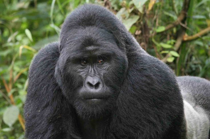 Горная горилла.
