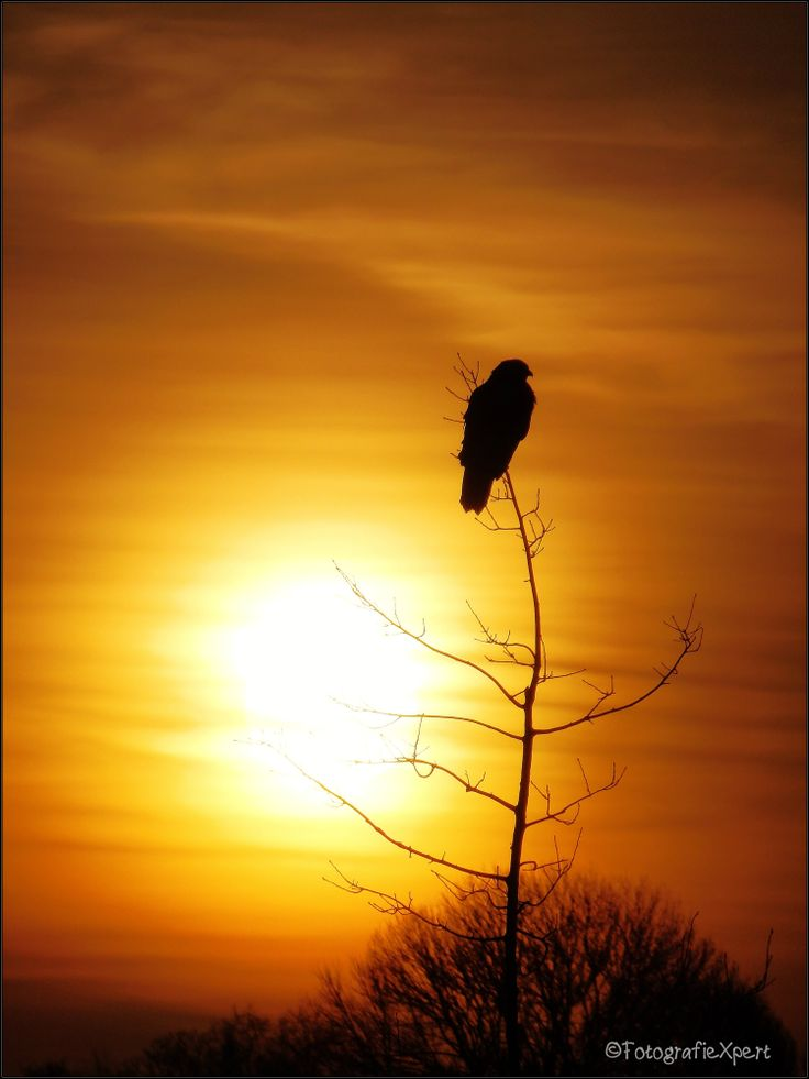 Buizerd in boom ochtendzon oranje Buzzard in tree with orange sunrise