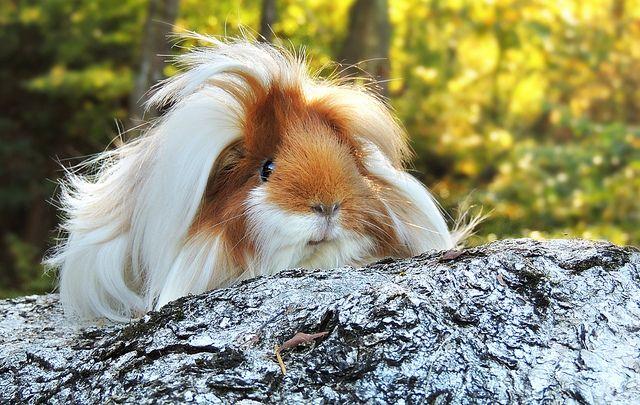Guinea Pig Daily: Priscilla the Peruvian guinea pig. by petlover44,