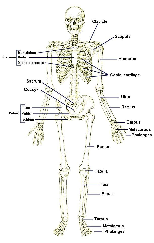 appendicular skeleton | Skeleton 1 Slide Show | Skeletal ...