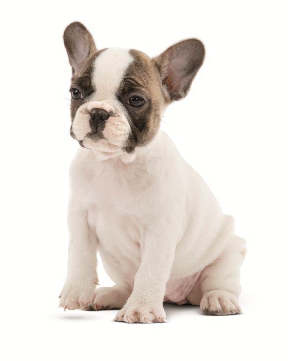 Le #chiot #bouledogue français, French Bulldog Puppy