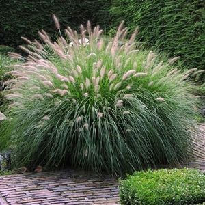 89 Best Images About Plants Grasses Etc On Pinterest