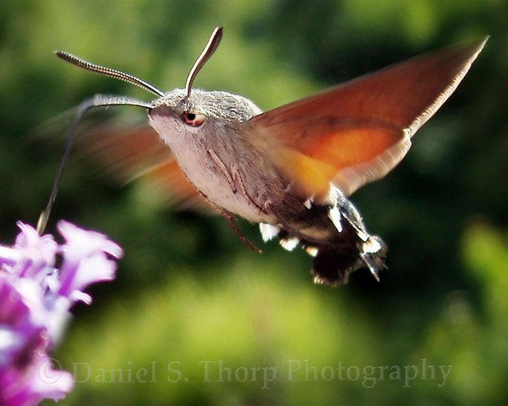 hummingbird moth: Butterflies Dragonflies, Bugs, Beautiful Moths, Beautiful Wings, Hummingbirds, Things Winged, Hummingbird Moth