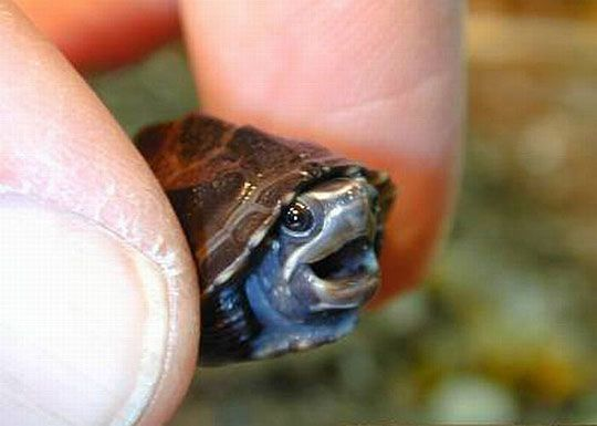 Tiny turtle is pleased - The Meta Picture