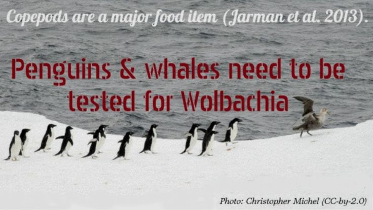 Wolbachia-Infected Aedes Are Likely Killing Whales and Penguins (Not Cli... You deserve the truth and where the money leads:  #SavePenguins #AdéliePenguins #SaveWhales #Wolbachia #copepods #ZIKV #phylogenetics #WNV #SLEV #WolbachiaInfectsMammals #WolbachiaInfectsVertebrates #WolbachiaInfectsHumans #CI #male #fertility