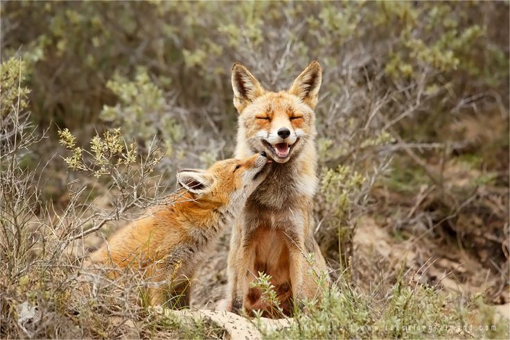 """Roeselienraimond.com   Blog   Facebook The 2nd of October is World Smile Day. And what animals can smile more beautiful than foxes..? :DFox mother and fox kit sharing a moment of love.... The message of World Smile Day is """"Do an act of kindness. Help one person smile."""""""