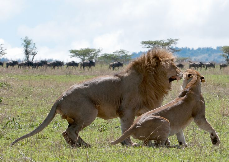Lions on honeymoon… :) mating.