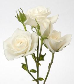 Princess Spray Rose White Spray Roses Bulk Roses Spray Roses
