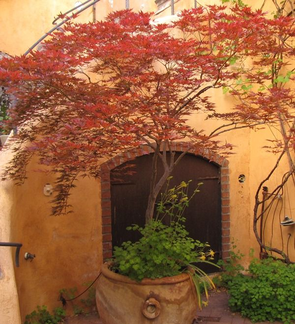 29 Best Potted Patio Trees Images On Pinterest Gardening
