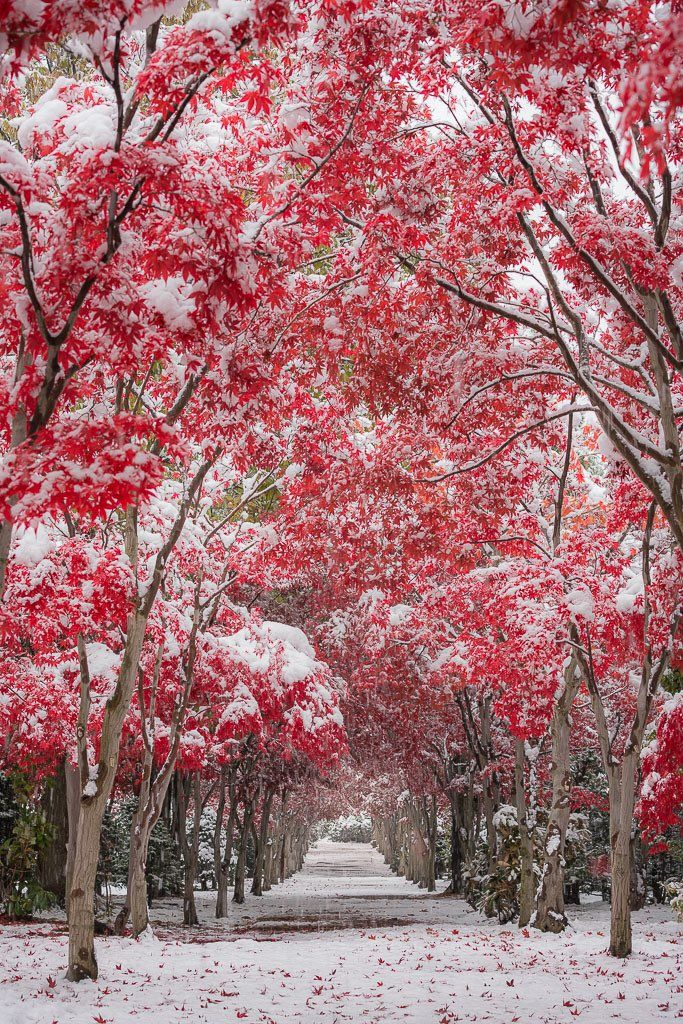 "neo-japanesque: ""  dress up photo by Hiroshi Tanita red japanese mapls (紅葉 momiji) tunnel covered with snow sapporo city, hokkaodo, japan """