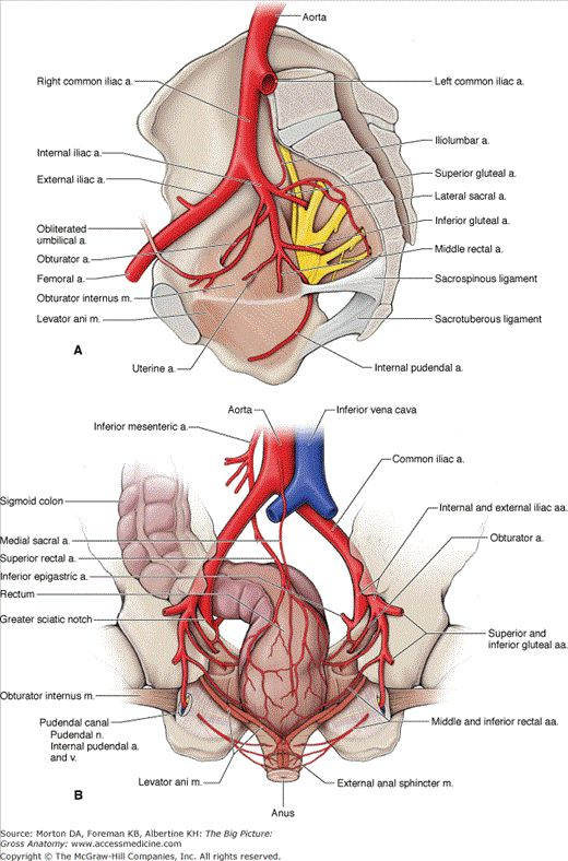 A Branches Of The Internal Iliac Artery B Arteries Of
