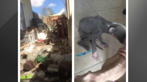 10/21/16 Investigators in Brevard County, Florida are searching for the owners of two emaciated dogs left to starve in a home in Grant Valkaria. According to the Facebook page of the Brevard County Sheriff's Office, on Friday a concerned neighbor called authorities in reference to the apparently abandoned home. When deputies arrived, they discovered a seriously emaciated …