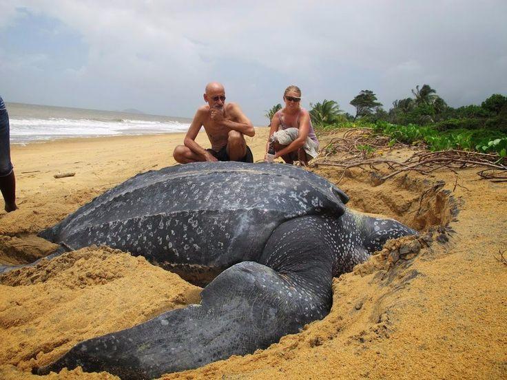 Огромная черепаха на пляже Мадагаскара