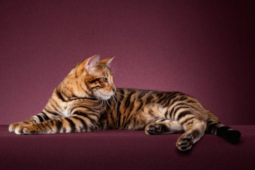 Tigervisions Botan Black Mackerel Tabby Modified Toyger Cat Colors Tabby Cat Breeds
