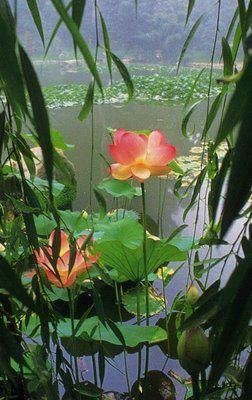 Lotus Flower & willow: