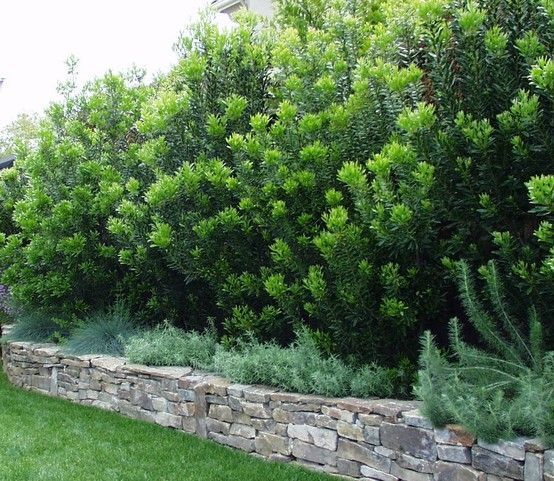 Pacific Wax Myrtle - Myrica California screening east side back.  Grows up to 15 ft.