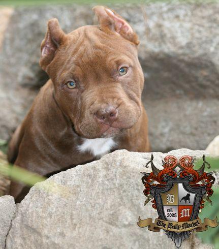 The Bully Market American Bully puppy  Homie x Mugsy