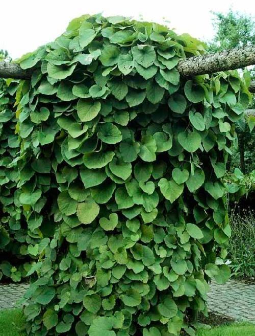 Tobakspibeplante / Aristolochia macrophylla / Slyngplanter