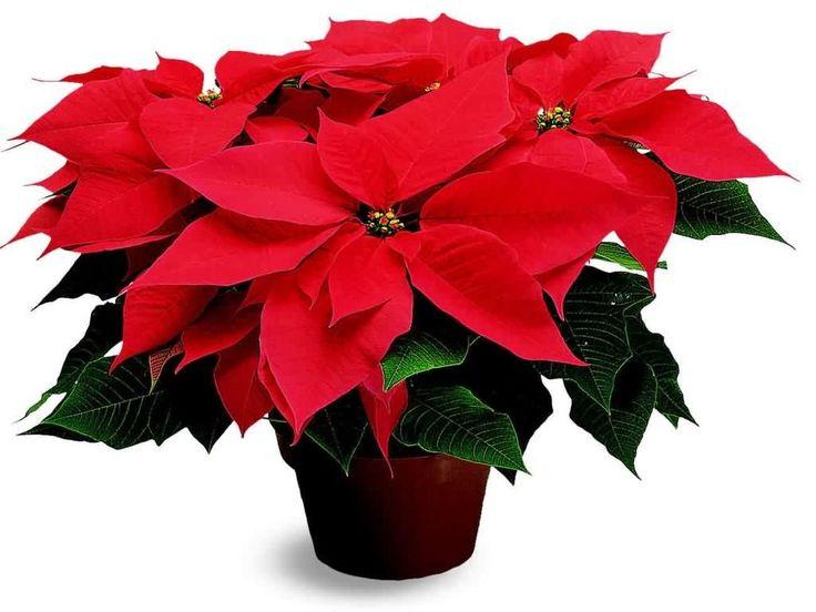 STELLA DI NATALE: i metodi per farla durare più a lungo! La Stella di Natale è una pianta simbolo del periodo di Natale. A quanti di noi è successo di aver