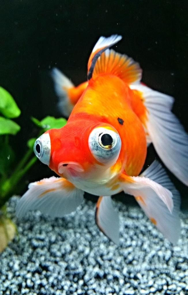 52 best gold fish images on pinterest fish goldfish and for Can tropical fish live with goldfish