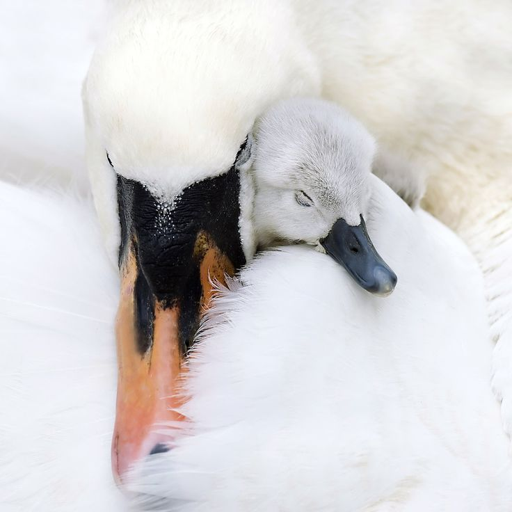 Mute swan and cygnet asleep together.: Animals, Mothers Love, Sweet, Beautiful, Baby, Birds