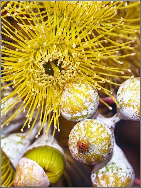 Eucalyptus woodwardii. Northern goldfields, Western Australlia.