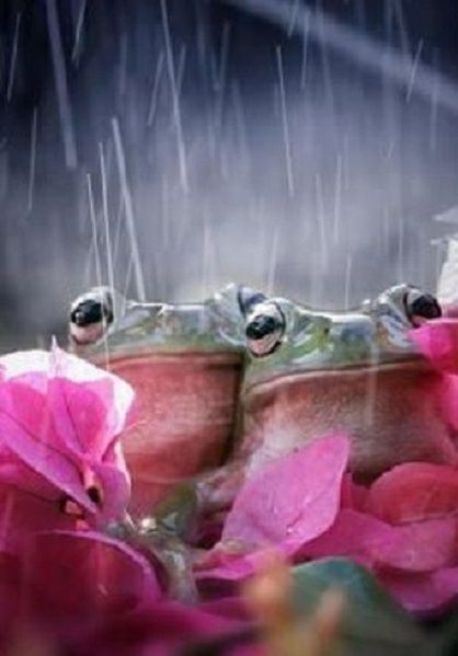 Frogs in the Rain