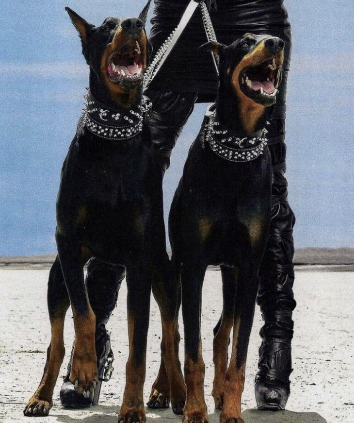 Pin By Kendali F On Dobbies Dogs Doberman Dogs Doberman Pinscher