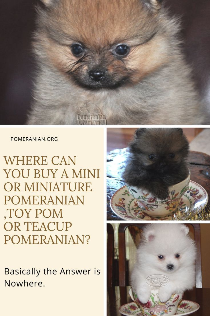 Where Can You Buy A Mini Or Miniature Pomeranian Toy Pom Or