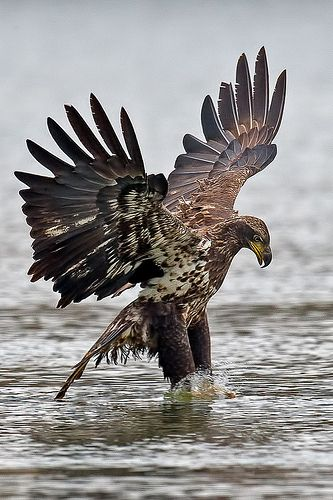 Juvenile American Bald Eagle.                                                                                                                                                      More