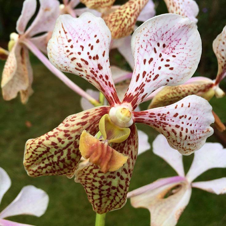 A Flowering Orchid Hybrid Growing In Kalaheo HI Garden Flower Colorful FlowersRare