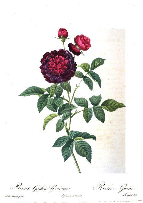 Les roses par Redouté