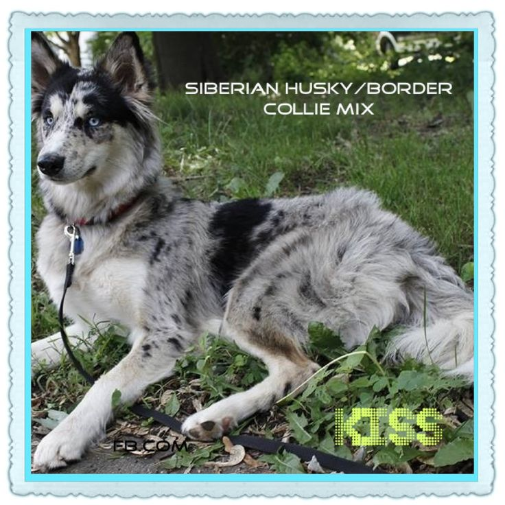 Check out her Facebook page search kiss Siberian husky ...
