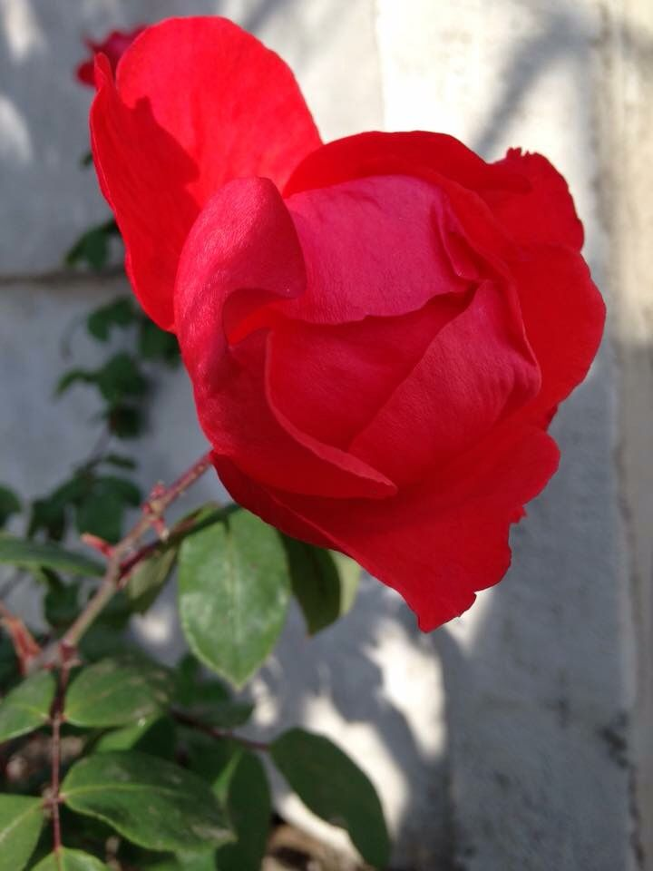 Rosa de mi madre en mi jardín