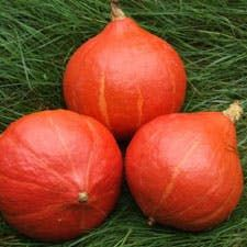 Find it at your local market or greengrocer, or find seeds at Turtle Tree Seeds  As we move into fall and squash and pumpkin season, I want point out one of my favorite sorts of pumpkin: Red Kuri, also called Hokkaido or potimarron, in French (see more about them here).