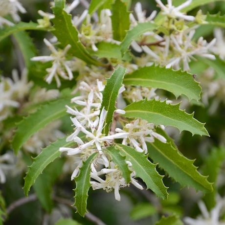 Hoheria angustifolia - Narrow-leaved Lacebark | Southern Woods