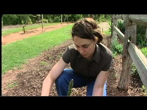 Harvesting Asparagus - YouTube