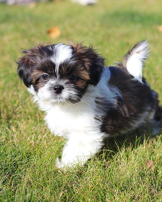 Bichon Shih Tzu, Shichon, Zuchon puppies for sale. Quality bred family dogs. Calgary, Alberta, Canada.